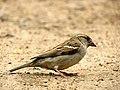 House Sparrow IMG 2605.jpg