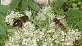 Hoverflies (Eib) (30931356863).jpg