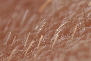 Vellus hair - Wikipedia, the free encyclopedia