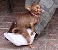 Humping Chihuahua.jpg