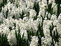 Hyacinthus white cv.01.JPG