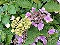 Hydrangea Nuneaton.jpg