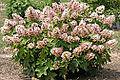 Hydrangea cultivar, Munchkin.jpg