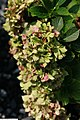 Hydrangea macrophylla Glowing Embers 3zz.jpg