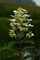 Hydrangea paniculata 10.JPG