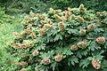 Hydrangea quercifolia kz1.jpg