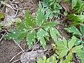 Hydrophyllum virginianum 2017-04-17 7888.jpg