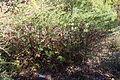 Hypericum forrestii - Quarryhill Botanical Garden - DSC03303.JPG