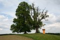 ID 508 Linde bei Reithberg 0002.jpg