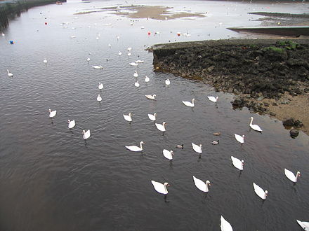 Swans where the Dargle flows into the harbour IMGDargleSwans 3476.jpg