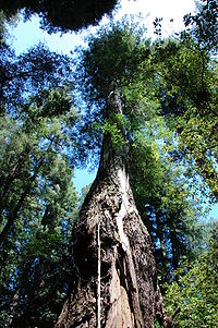 Icicle Tree - Armstrong Redwoods State Reserve.jpeg