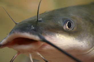 Channel catfish - Channel catfish