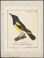 Icterus parisorum - 1700-1880 - Print - Iconographia Zoologica - Special Collections University of Amsterdam - UBA01 IZ15800209.tif