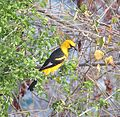 Icterus pectoralis-- the Spot-breasted Oriole (24184797909).jpg