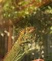 Iguana Hijau.jpg