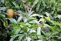 Un iguane antillais, en train de manger une mangue dans un manguier, à la Dominique