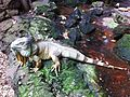 Iguana iguana zoo.jpg