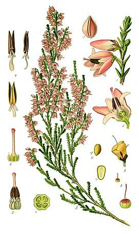 Illustration Calluna vulgaris0.jpg