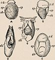 """Image from page 182 of """"Introduction to zoology; a guide to the study of animals, for the use of secondary schools;"""" (1900) (14781867281).jpg"""