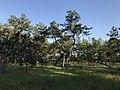 Imazu Pine Grove 3.jpg