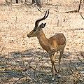 Impala at Majete wildlife reserve (15506942799).jpg