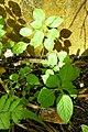 Impatiens mackeyana subsp. claeri-Jardin botanique Meise (2).jpg