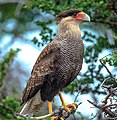 In & around Torres Del Paine Nat'l Park - Crested (Southern) Caracara (Polyborus plancas) - (25092923691).jpg