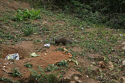 Indian Brown Mongoose Herpestes fuscus.JPG