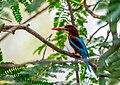 Indian White-throated kingfisher.jpg