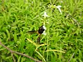 Insect from Madayipara DSCN2636.jpg
