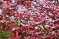 Inside-pink-dogwood-tree - West Virginia - ForestWander.jpg
