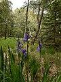Iris sibirica Obere Weide, Waldenburg 202005.jpg