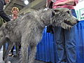 Irish wolfhound (8109950687).jpg