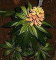 Isoplexis canariensis BotGardBln271207A.jpg