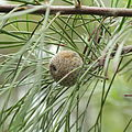 Isopogon dawsonii-IMG 7158.jpg