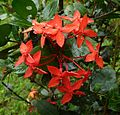 Ixora. - Flickr - gailhampshire.jpg