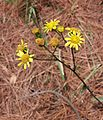 Jacobaea aquatica (marsh ragwort).jpg