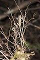 Japalura makii (36069511715).jpg