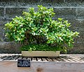 Japanese Garden Green Island Fig Bonsai NBG LR.jpg