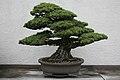 Japanese White Pine (Pinus parviflora) (3504888297).jpg