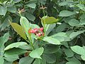 Jatropha integerrima at National Zoological Park Delhi - Visit dueing WCI 2016 (2).jpg