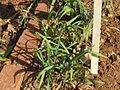 Johannesburg Botanical Garden Herb section05.JPG
