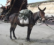 A mule is the infertile offspring of a male donkey and a female horse.