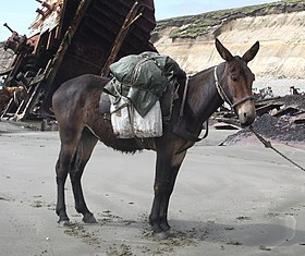 An Argentine pack mule.