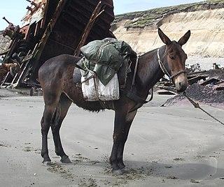 背中に荷物を乗せて運ぶ動物としても活躍するラバ → 麻薬の運び屋(ドラッグミュール) → お金の運び屋(マネーミュール)