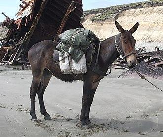 Mule - Image: Juancito