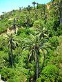 Jubaea chilensis Quebrada El Quiteño 1.jpg