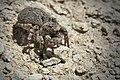 Jumping spider Aelurillus leipoldae front 01.jpg