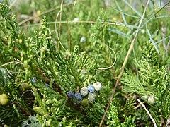 Juniperus Horizontalis Wikipedia