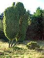 Juniperus-communis-LünHei-1477.jpg